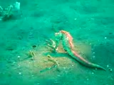 Swimming Seahorse - Lembeh Strait - Indonesia